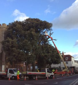 150 Year Old Holm Oak Cut Down in Maldon